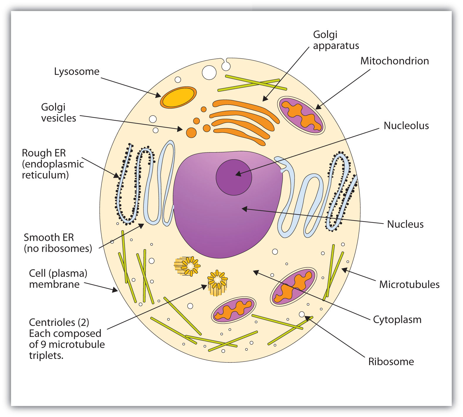 Diagram Structure Of Animal Cell Online Schematic Diagram